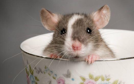 Cuki patkány