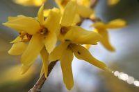 Forsythia × intermedia