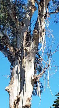 A good Aussie gum tree