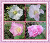 My Rose of Sharon.  Smaller.