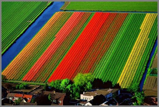 Aerial view of tulip fields in Holland