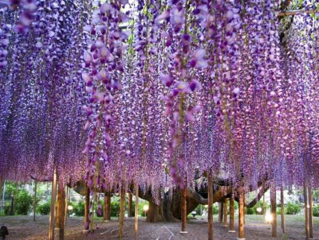 WOW - PURPLE TREES