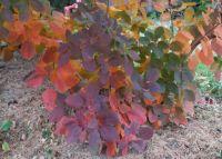 Smoke Bush with Fall Colors