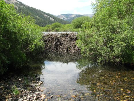 Summit Creek Beaver Dam