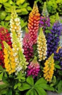 Colorful lupins