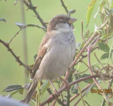 A Sparrow, they don't appear very often  on my feeders