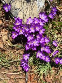 Flowering Crocus