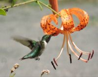 More Birds: Hummingbird and Tiger Lily
