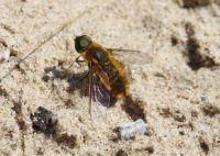 Bee fly - Villa Hottentotta (Hottentottenvilla)