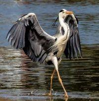 Elegant Grey Heron