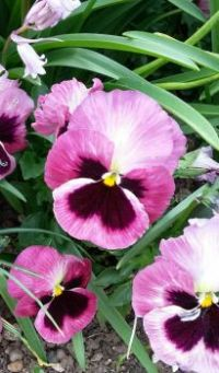 Planter pansies.