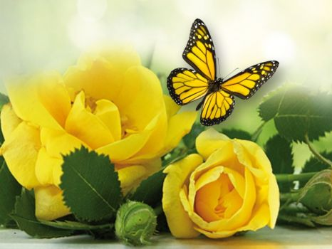 Yellow roses and butterfly