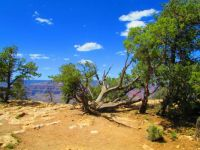 Gnarled Old Tree at Grand Canyon, AZ
