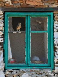 Owl in window