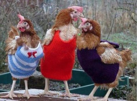 It's so cold that even chickens wear clothes.