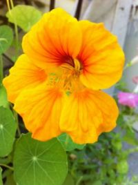 By now you should be able to tell that I love Nasturtiums!