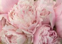 pillow talk pink peony