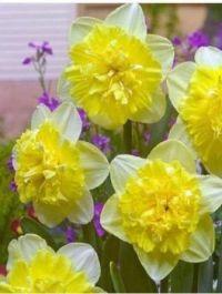 "Narcissus ""Full House"""