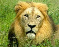 Lion at Kruger National Park, South Africa