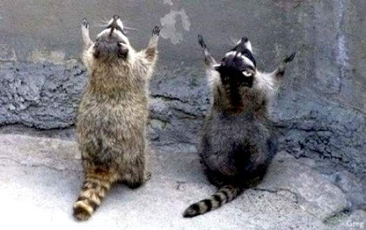 Write a Caption!  two racoons