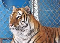 SABER ~ a resident at In-Sync Exotics Wildlife Sanctuary