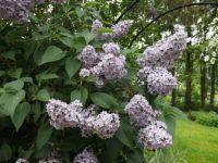 The last lilacs