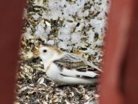Sweet Snow Bunting