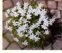 Onithogalum Arabica White flowers