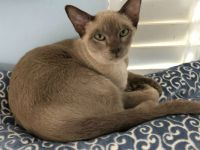 Tonkinese cat on a cushion