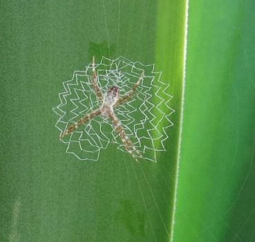 The Orb Weaver and its zig-zag web.