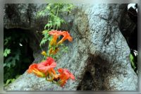 Campsis radicans for Ardy