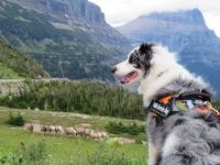"""Montana's Glacier National Park has a canine """"bark ranger"""" that helps herd wildlife away from high-traffic areas."""