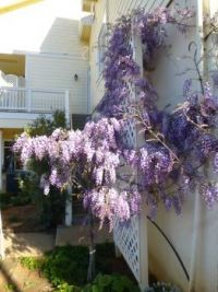 Wisteria the beautiful