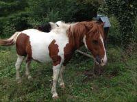 Swiss pony