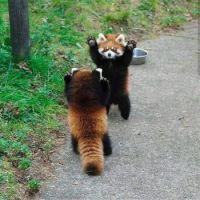 PandaRedLookingScary