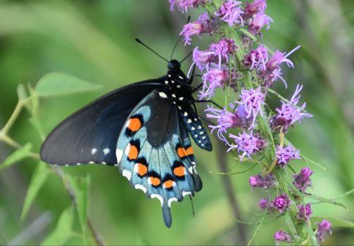 Pipeline swallowtail butterfly