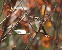 Hummingbird perched in a tree