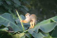 Monkey in Gondwanaland