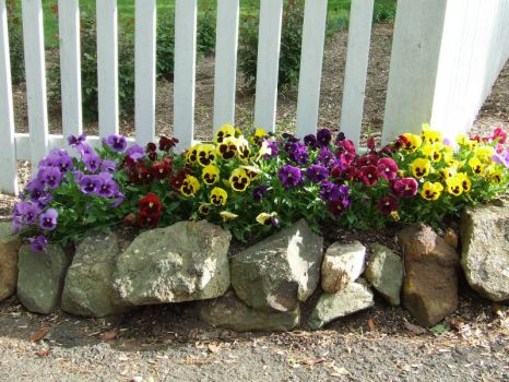 Pansy Bed