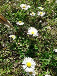 sedmikrásky,daisies