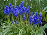 Modřenec - Grape hyacinth