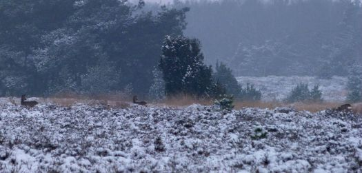 Roe deer in the snow # 2