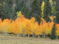 Glowing aspens in Utah