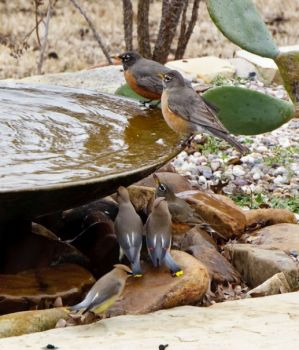 Waxwings & Robins at Redenta's Garden