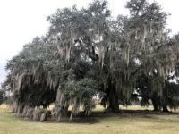 Live Oak Tree with Spanish Moss