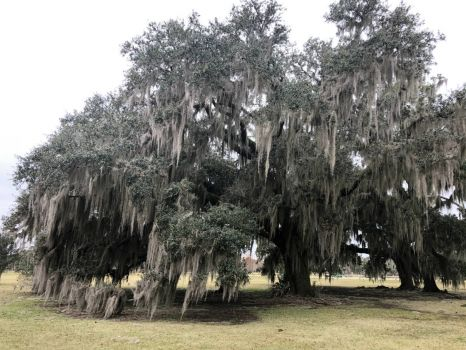 Live Oak Tree with Spanish Moss