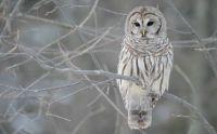 Winter-Owl-on-Tree