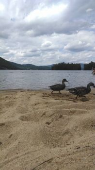 Ducks at Newfound Lake