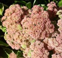 This is sedum which flowers in autumn. Bees love it. Can you count the number of bees on this plant?