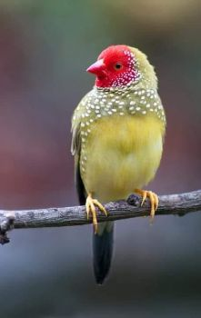 Yellow Bird with Red Face
